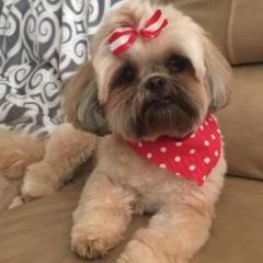 1 Year Old Shih Tzu Needs A New Home All About Rescues The