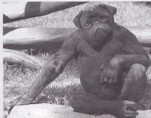 Lulu 200 lb gorilla.jpg